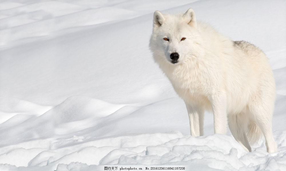 雪地里的白狼图片素材 动物 陆地动物 野生动物 动物世界