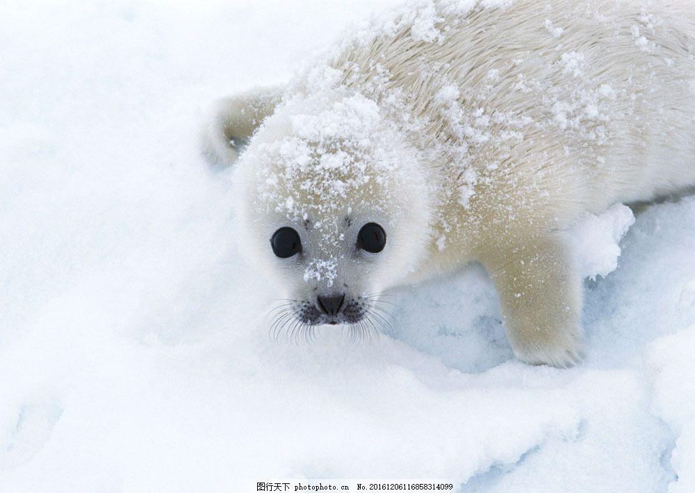 雪地上的海豹 雪地上的海豹图片素材 动物世界 生物世界 白雪 海狮