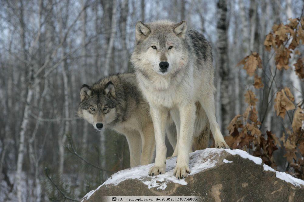 树林里的狼 狼 狼摄影 动物 动物世界 陆地动物 野生动物 陆地动物