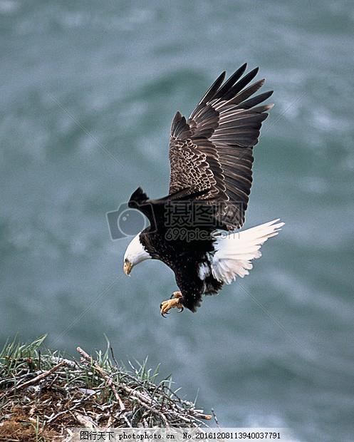 鸟 捕食者 羽毛 动物 头 特写 海鹰 老鹰 鹰隼 猎物 狩猎 食物链 飞翔