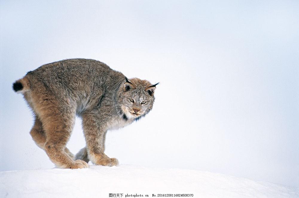 雪地上的野猫图片