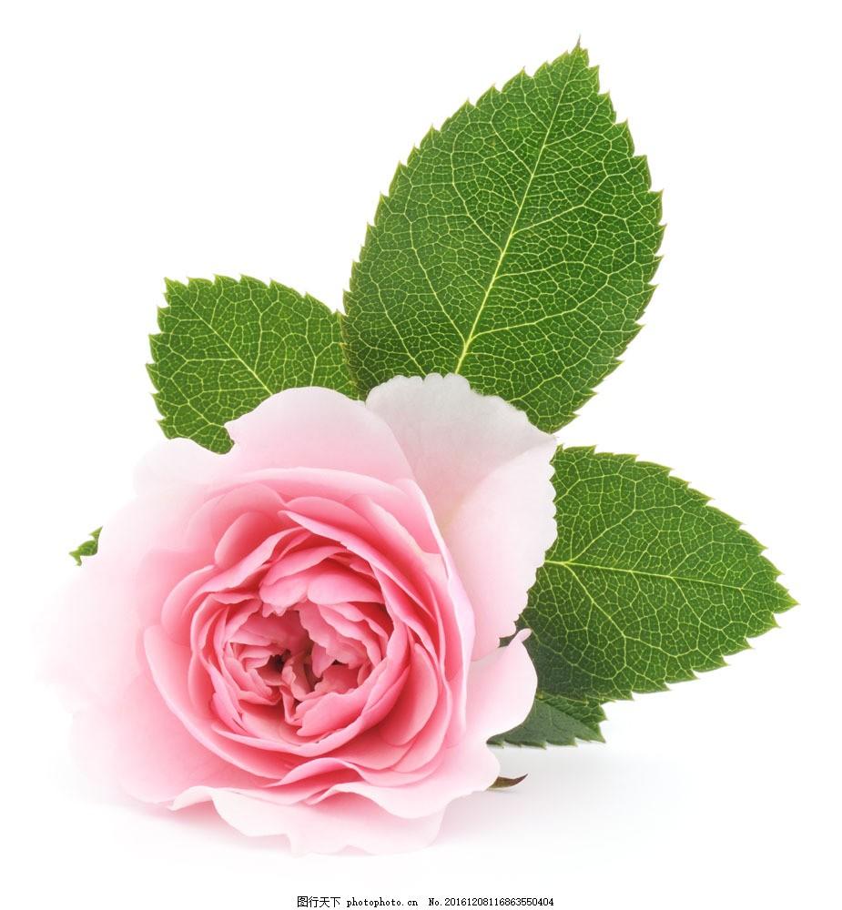 粉色玫瑰花 粉色玫瑰花图片素材 花瓣 植物花朵 美丽鲜花 漂亮花朵图片
