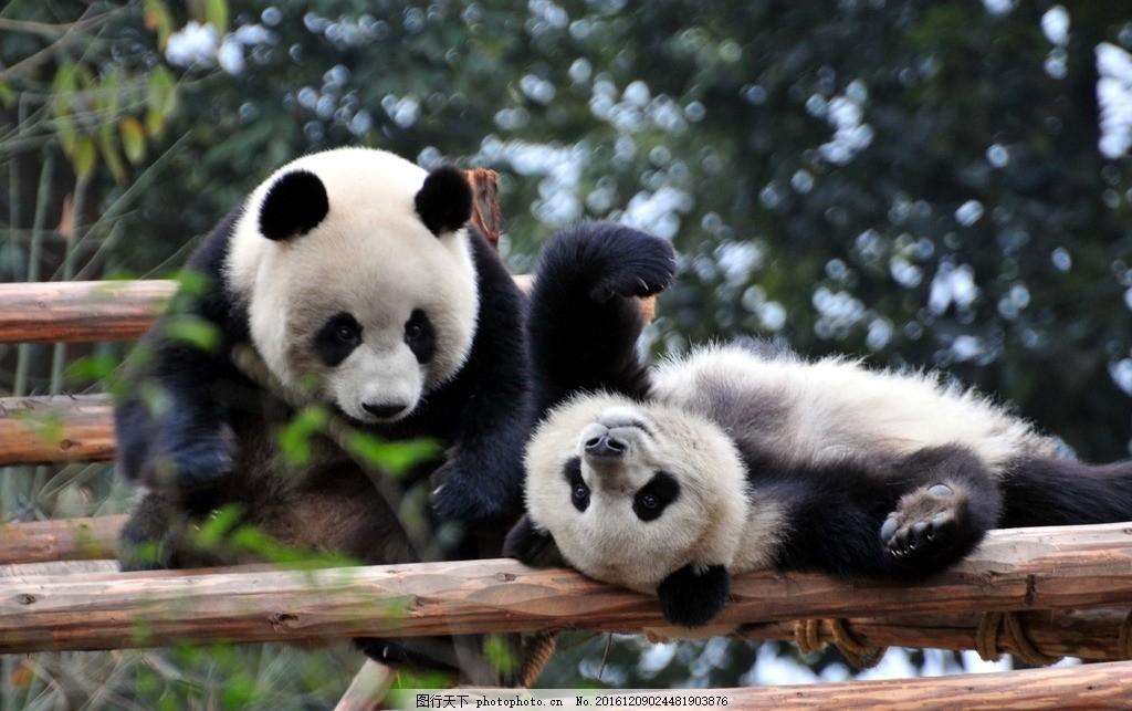 国家级保护 四川 功夫熊猫 可爱 萌 黑白 摄影 生物世界 野生动物 72