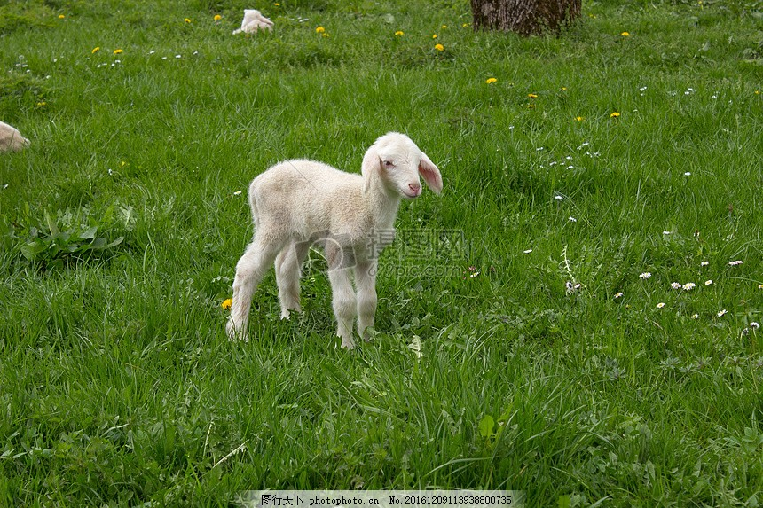 草地上的小羊 羔羊 春天 年轻 童年 动物 可爱 红色