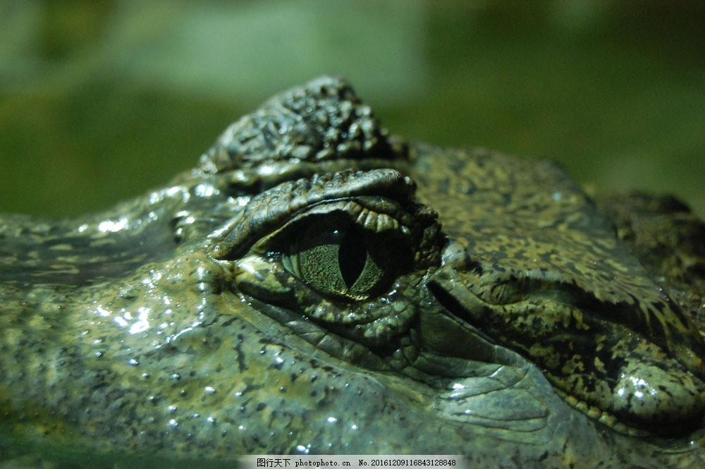 鳄鱼的眼睛 鳄鱼的眼睛图片素材 鳄鱼眼 野生动物 爬行动物 动物世界