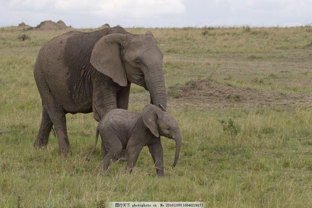 草原上的大象 草原上的大象图片素材 非洲动物 野生动物 动物世界