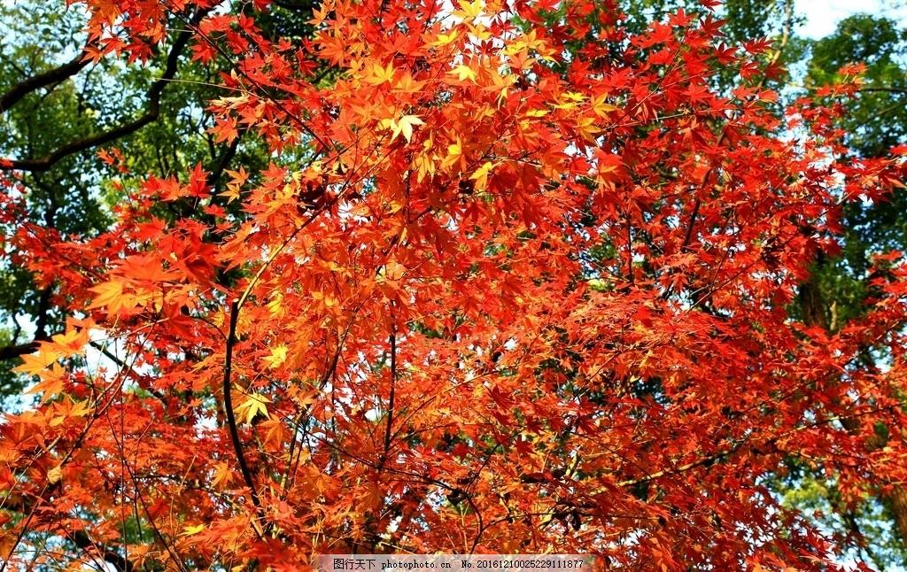 红叶 杭州西湖 世界遗产 枫树 枫叶 树叶 红色 植物 树木 香樟树 绿叶