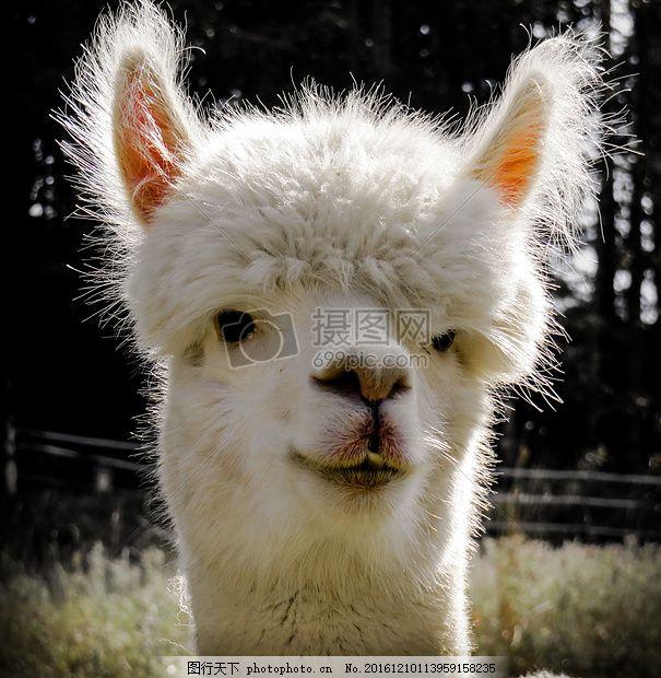 羊驼 头 动物 动物肖像 野生动物摄影 模仿 耳朵 羊毛 蓬松