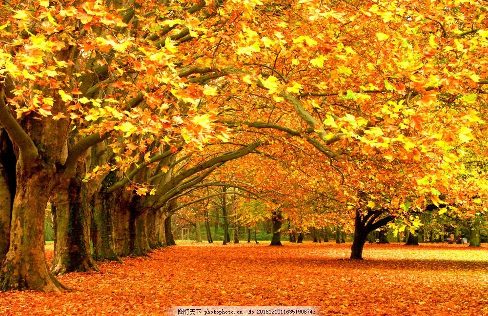 秋天的枫叶 秋天的枫叶图片素材 枫树林 落叶 黄叶 叶子 树叶