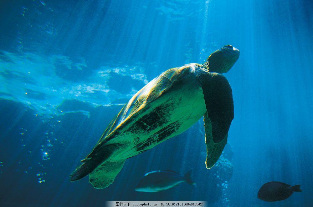 海龟图片素材 动物 野生动物 海里 海龟 游泳 水中生物 生物世界 图片