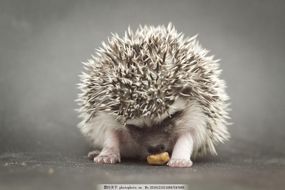 低头吃东西的刺猬 低头吃东西的刺猬图片素材 可爱动物 陆地动物