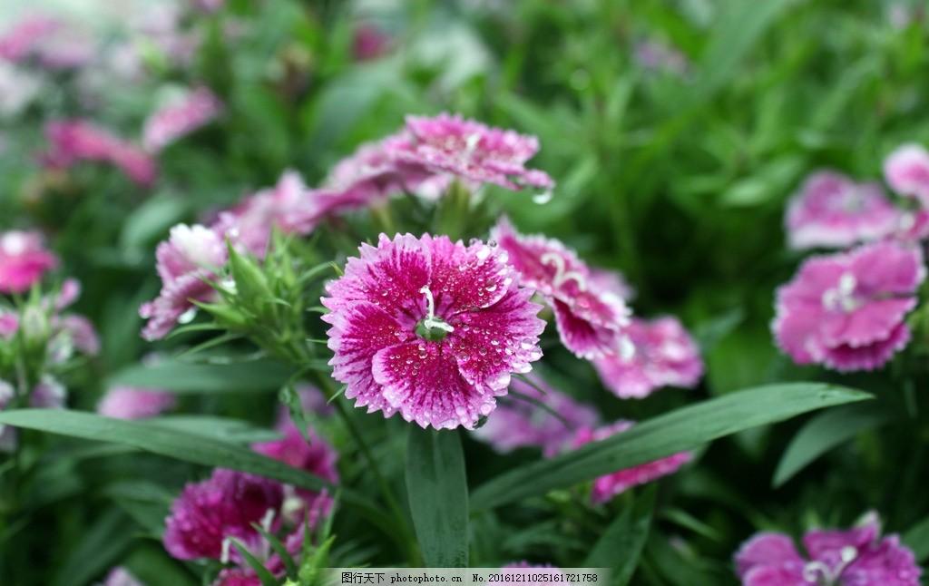 花 紫色 花朵 鮮花 花卉 花骨朵 花瓣 綠葉 攝影 攝影 生物世界 花草