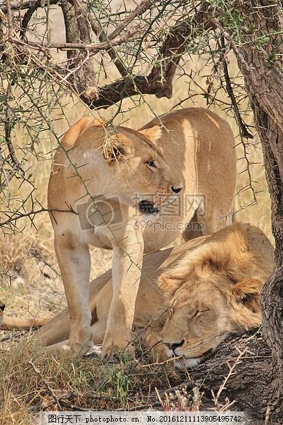 树下休息的狮子 动物 非洲树 树干 树枝 绿色 发芽 黄色 草地