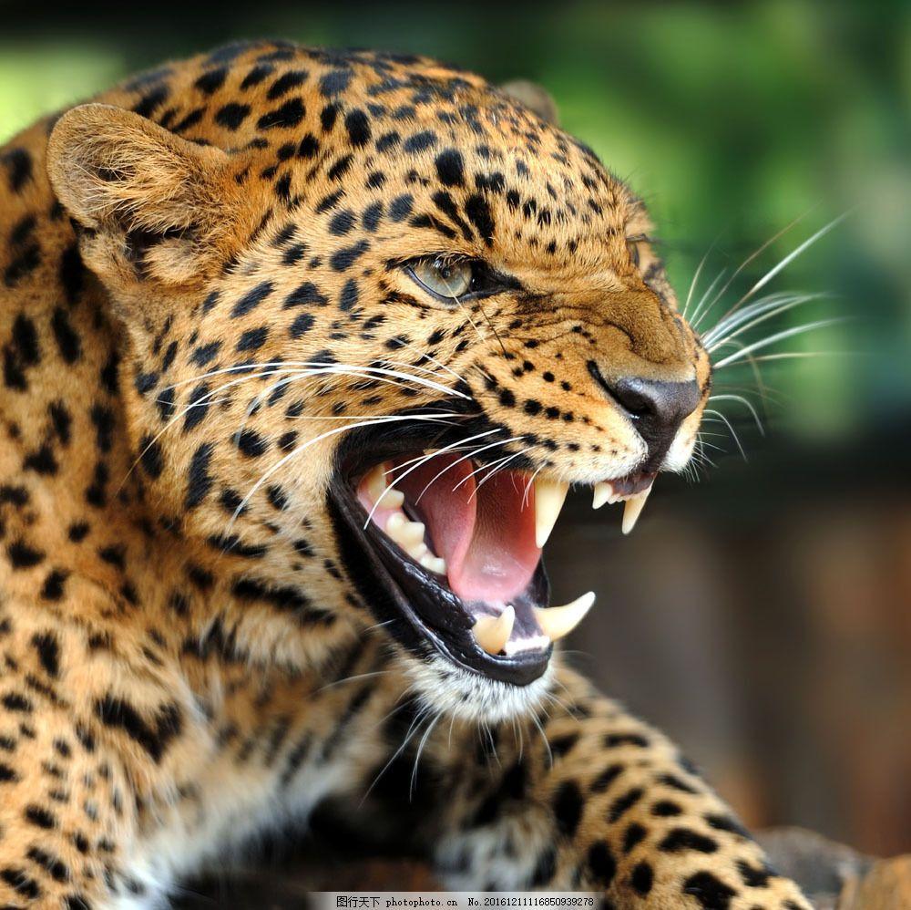 发怒的猎豹图片素材 豹子 吼叫 嚎叫 金钱豹 猎豹 动物世界 野生动物