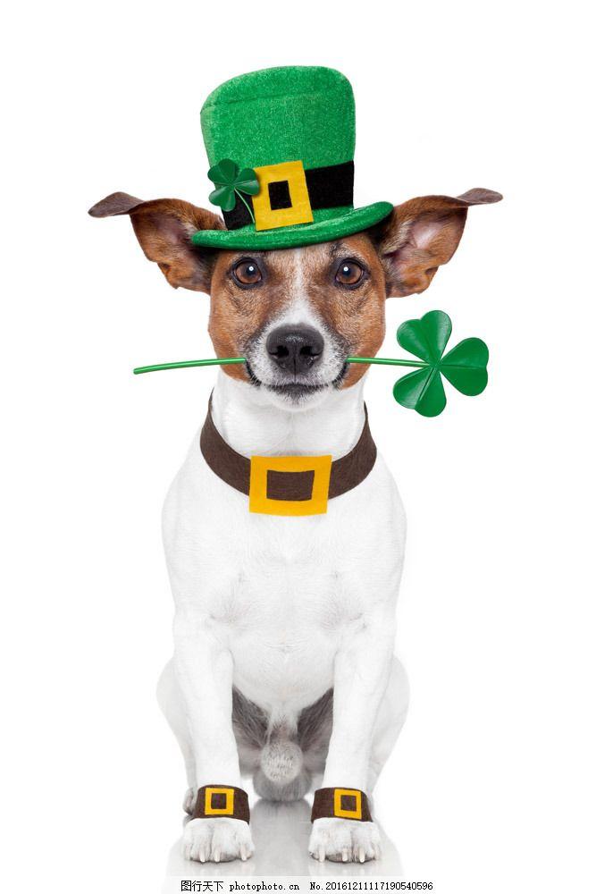 戴帽子的小狗 戴帽子的小狗图片素材 动物 动物世界 小狗摄影 可爱