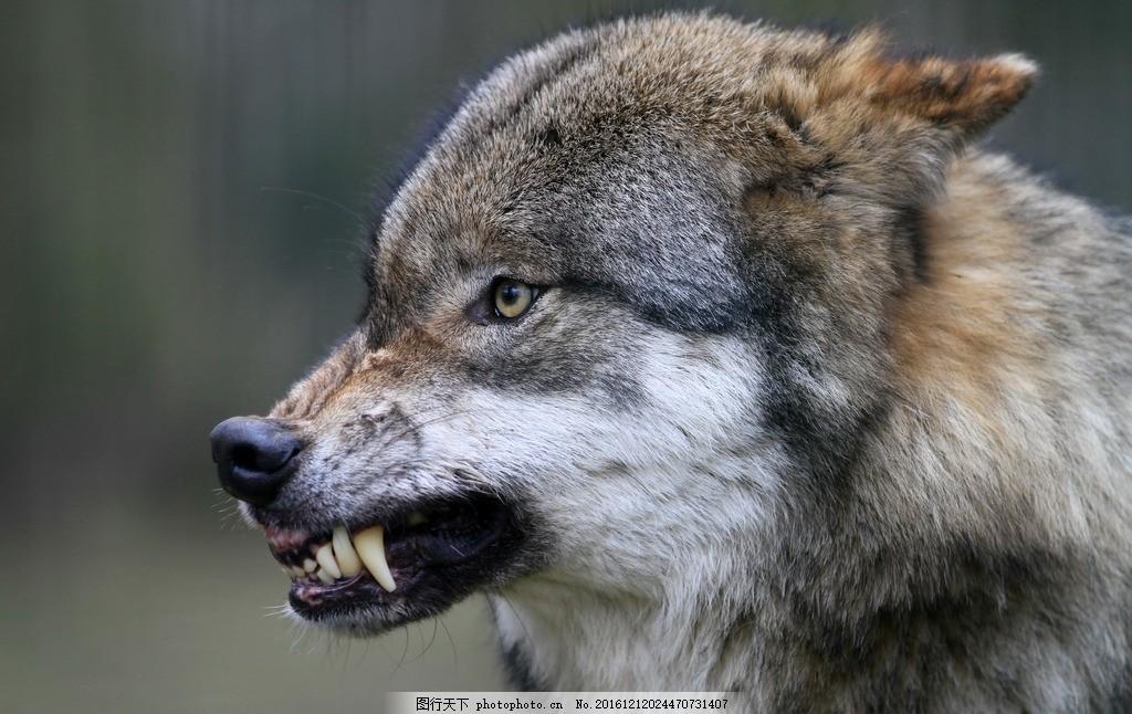 狼 动物 野生 野性 生态 凶猛 摄影