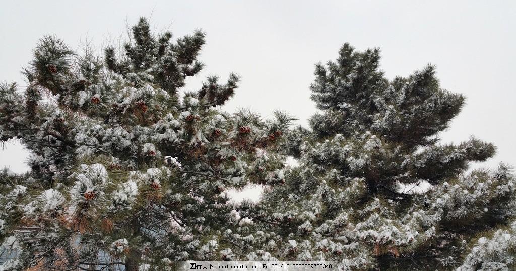 冬天松树枝叶上的雪
