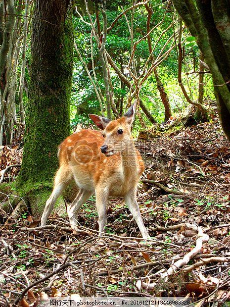 树林里的小梅花鹿 山 自然 动物 森林 木材 秋季 日本大自然