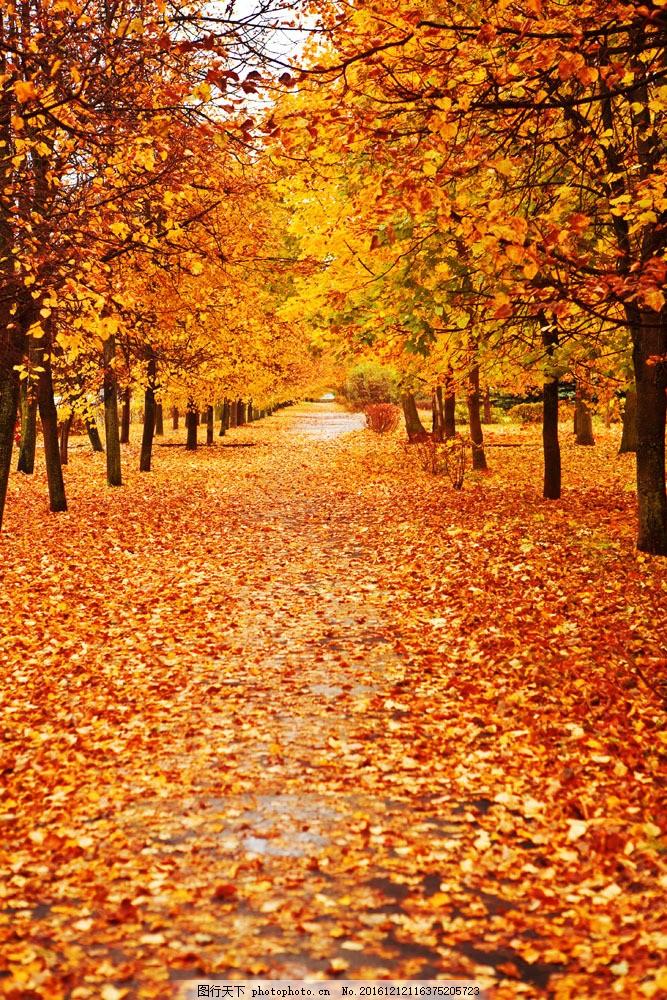 秋天 秋意 枫叶 枫叶路 枫林 秋色 黄色叶子 自然风景 枫叶摄影 山水