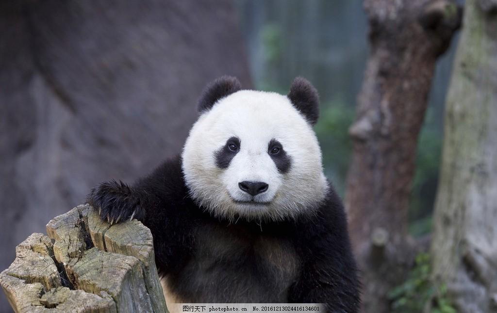 四川熊猫基地 国宝 大熊猫 国家级保护 摄影 摄影 生物世界 野生动物