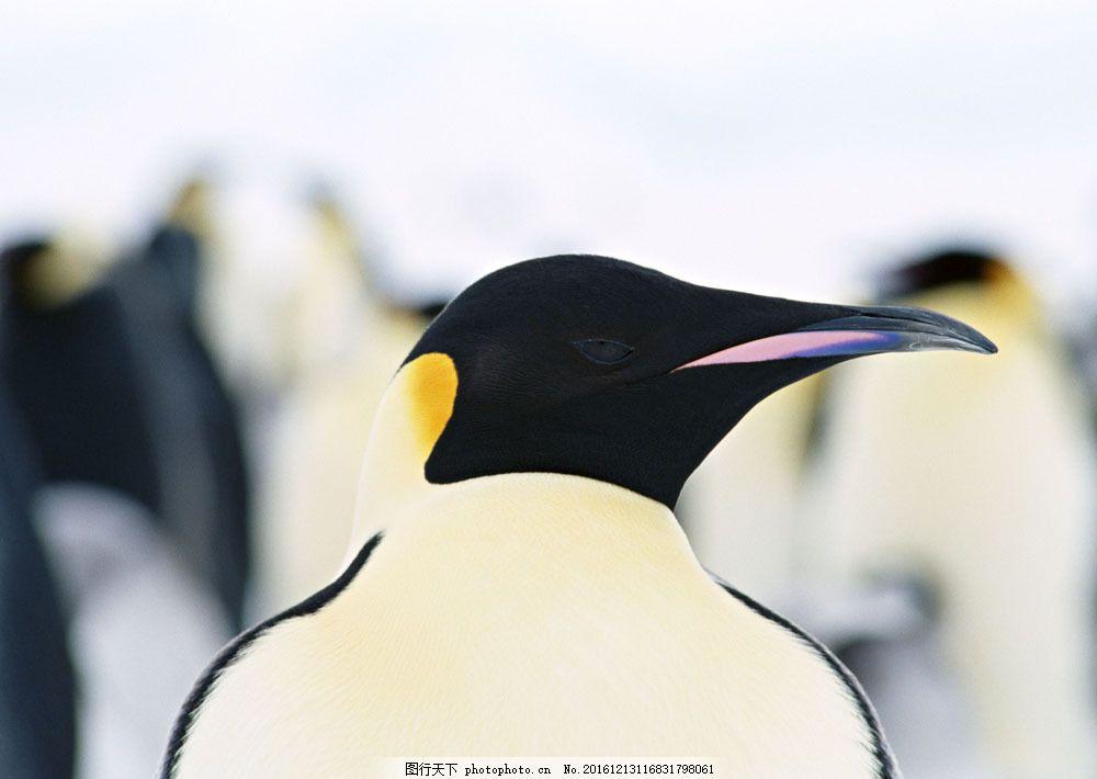 企鹅头部特写 企鹅头部特写图片素材 动物世界 生物世界 南极生物