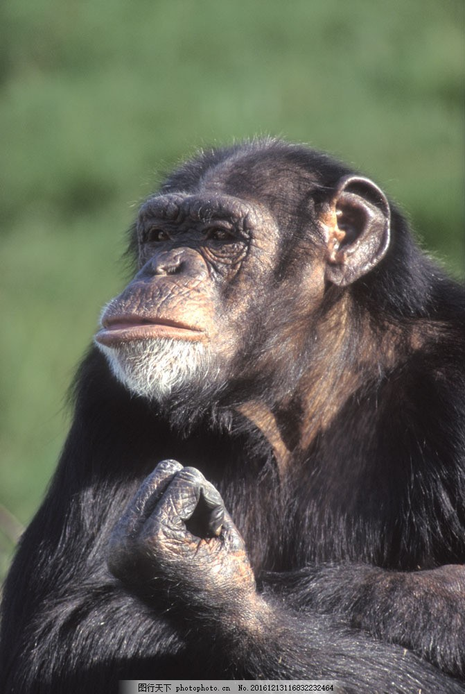 大猩猩摄影图片素材 大猩猩 黑猩猩 野生动物 动物世界 摄影图 陆地