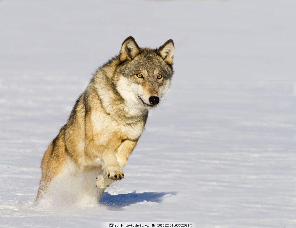 雪地里的狼 雪地里的狼图片素材 狼摄影 动物 动物世界 陆地动物