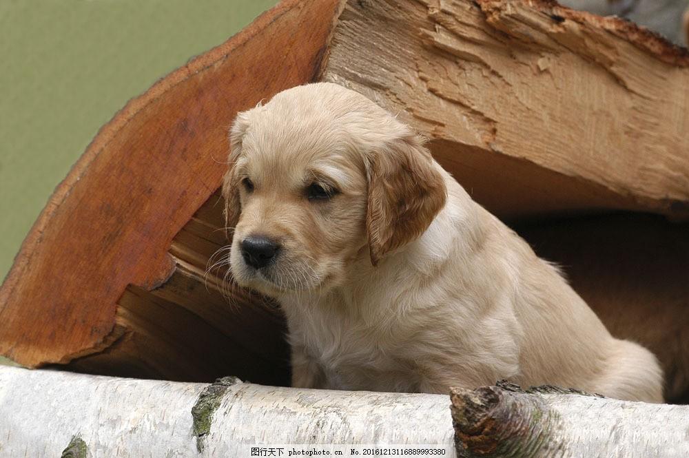 木头上的狗狗图片素材 宠物 可爱小狗 名贵 犬种 动物世界 宠物摄影