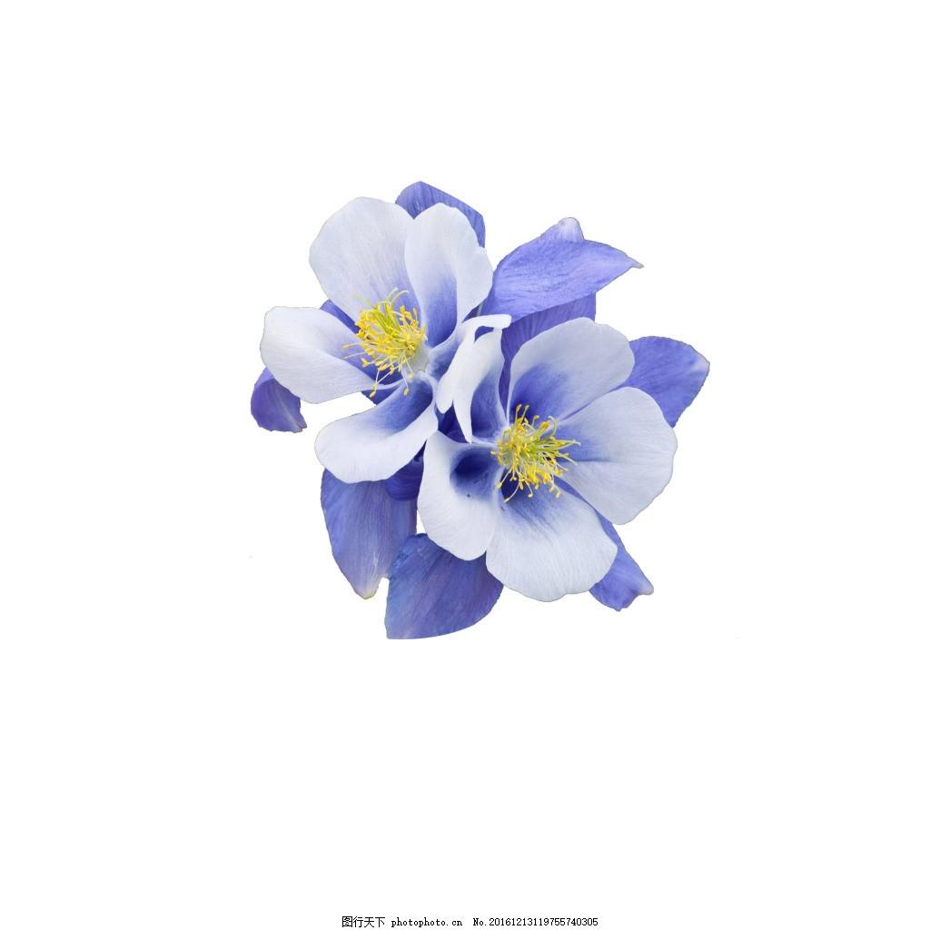 花 猫爪花 蓝花 漫画花素材 满天星 蓝色妖姬 商务桌花鲜花 卡通花