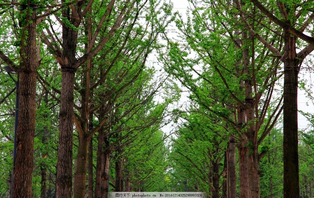 大树 绿色 环境 清净 排排树木 一排树木 摄影 生物世界 树木树叶 72d