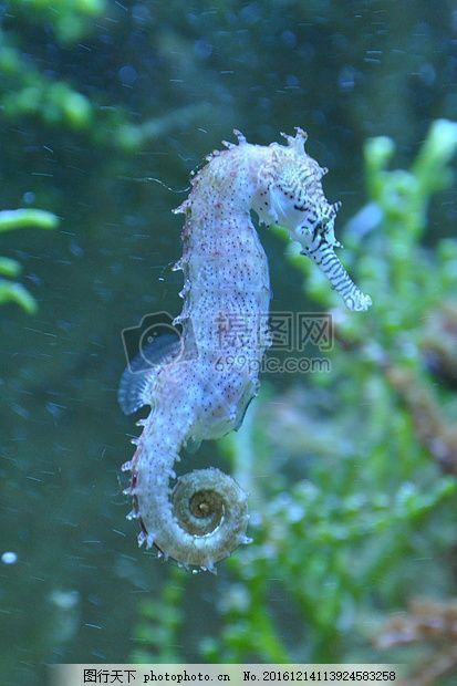 水中可爱的海马 鱼 海洋 生物 动物 鱼类 白色 青色 天蓝色