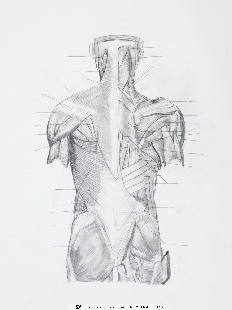 背部肌肉结构图片