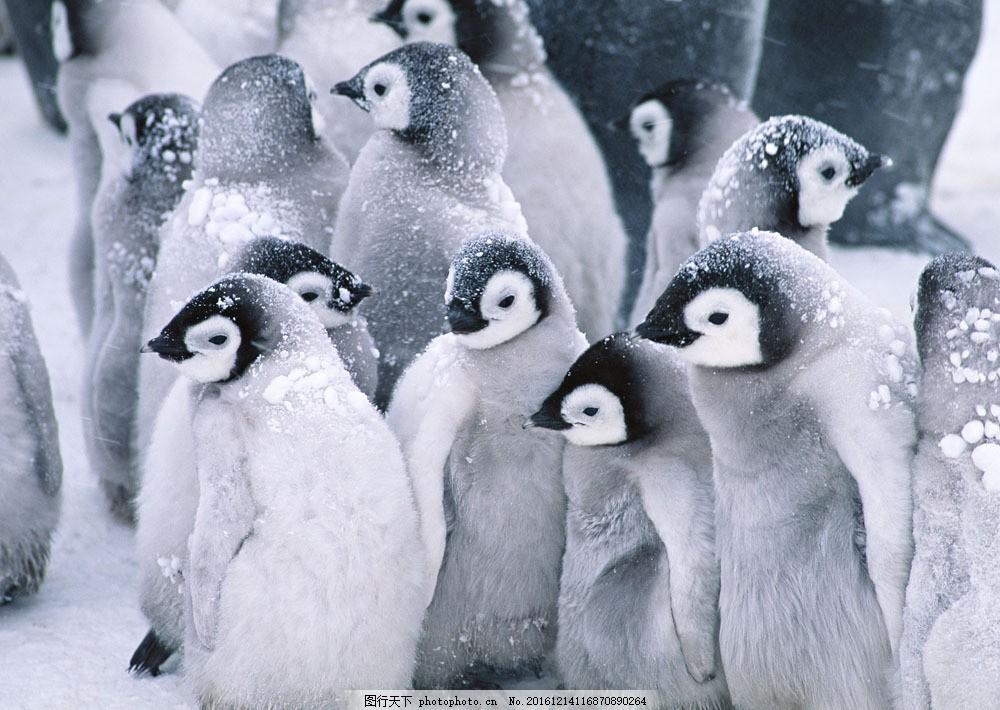 南极企鹅 南极企鹅图片素材 动物世界 生物世界 南极生物 水中生物