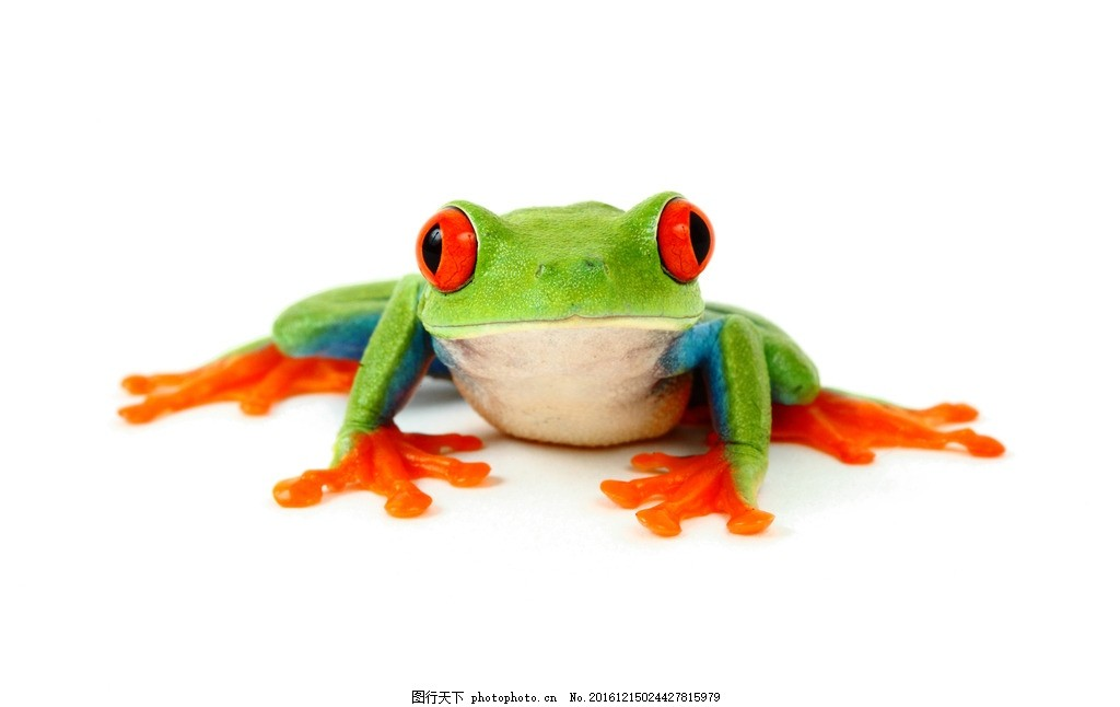 青蛙 四只青蛙 红色 橙色 箭毒蛙 热带雨林 趴着 保护动物 保护环境