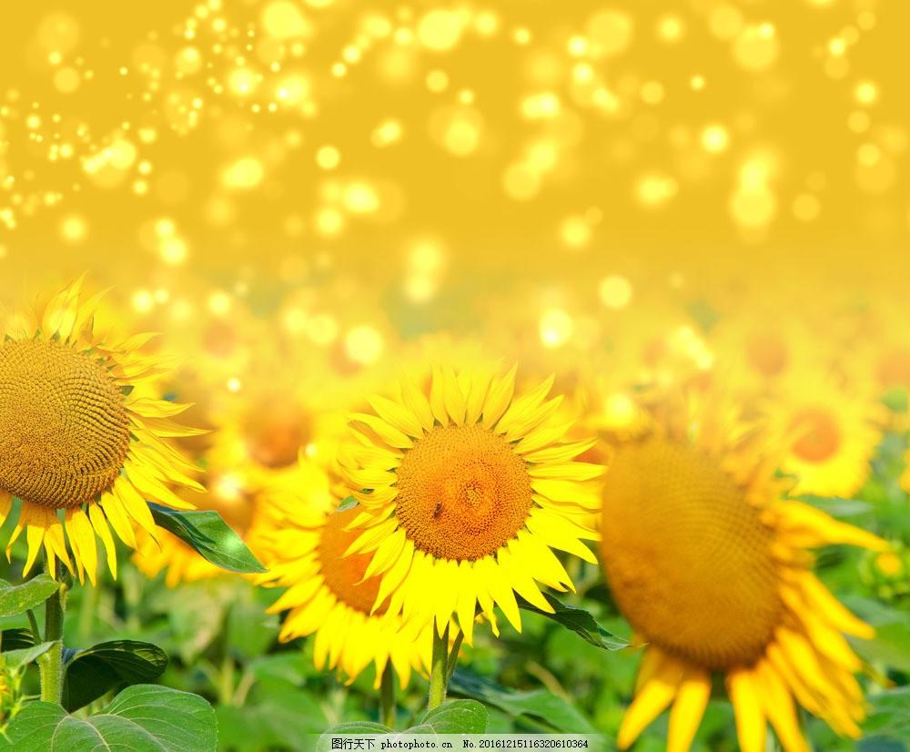 向日葵摄影图片素材 季节 秋季 秋天风景 唯美 金黄 向日葵 金黄背景