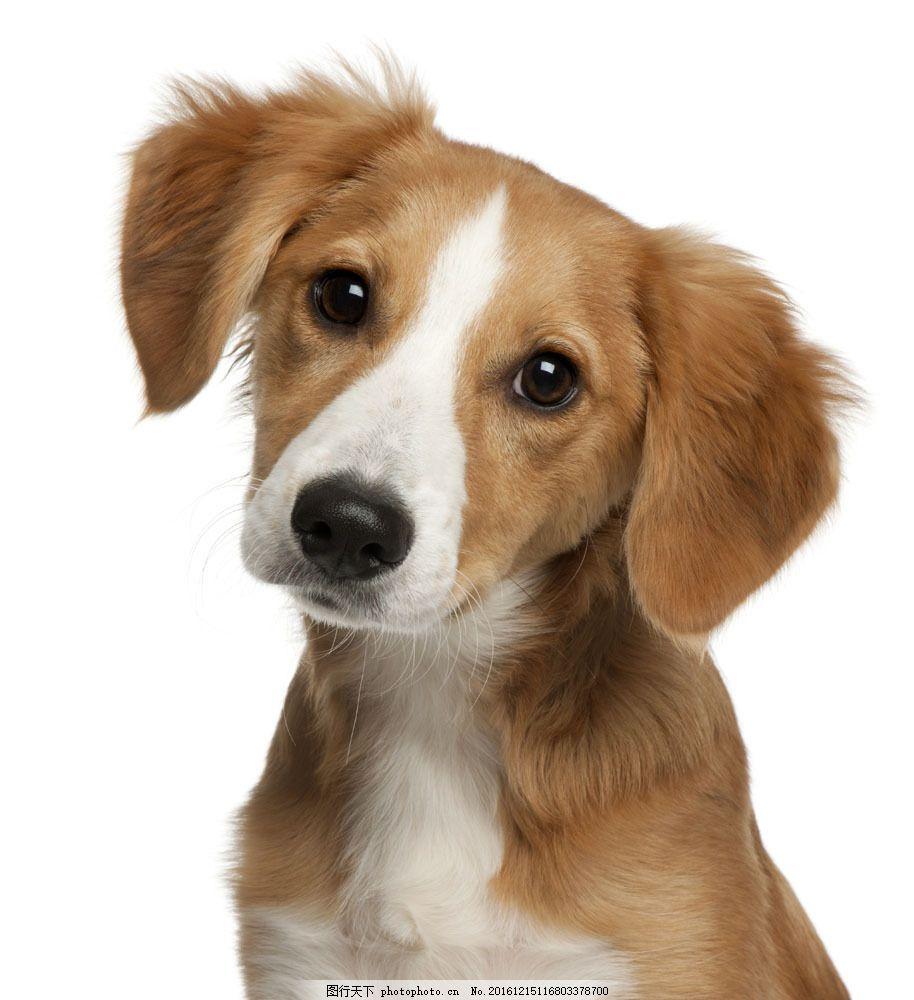 可爱的宠物小狗 可爱的宠物小狗图片素材 狗狗 动物 可爱动物 动物