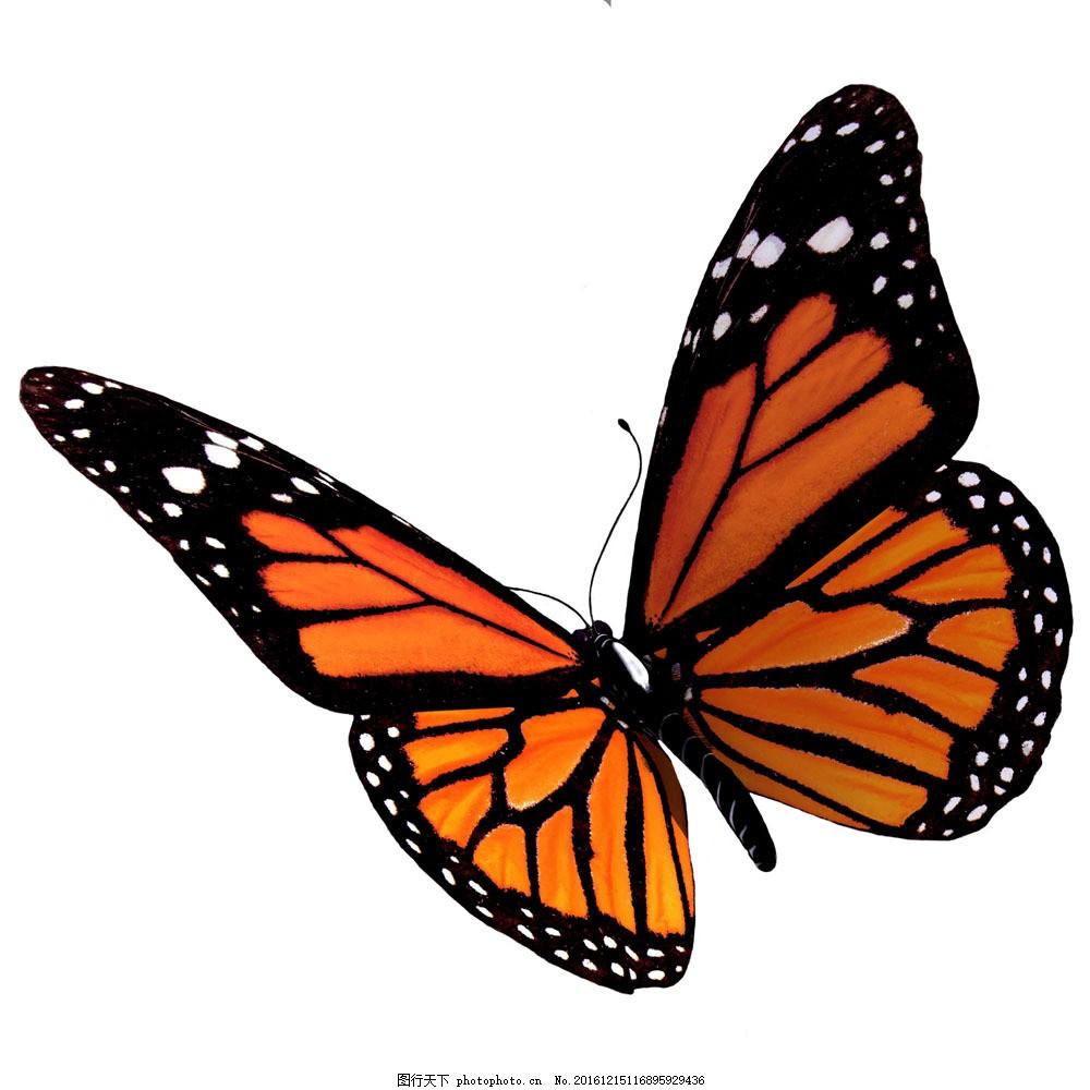 蝴蝶图片素材 蝴蝶 美丽蝴蝶 飞蛾 动物世界 昆虫世界 生物世界 图片