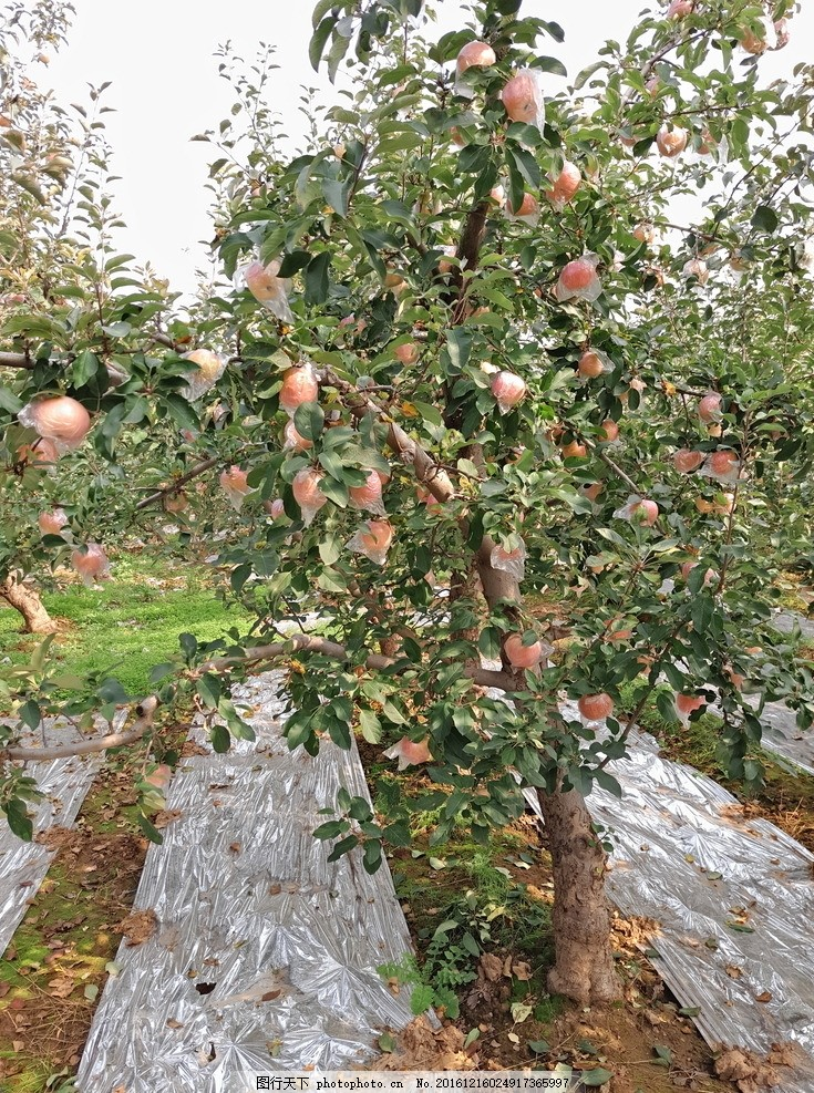 苹果 红富士 红苹果 苹果树 苹果园 苹果成熟 水果 果树 山地苹果