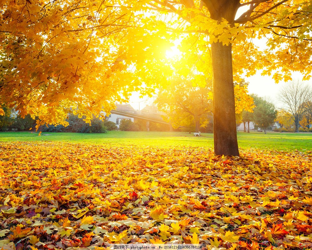 夕阳美景 日落风景 秋天梧桐树 梧桐叶 落叶 黄叶 秋天树叶 美丽秋天