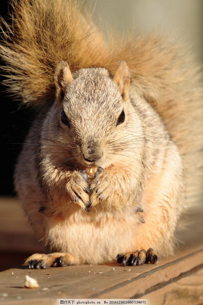 正在吃东西的小松鼠 正在吃东西的小松鼠图片素材 鼠科 哺乳动物