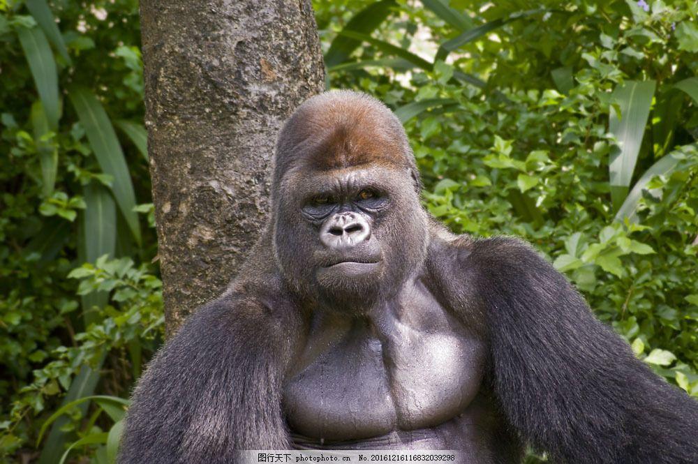 野生黑猩猩 野生黑猩猩图片素材 猴子 大猩猩 野生动物 动物世界