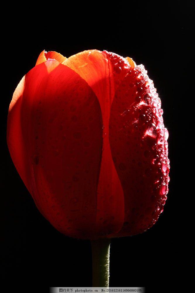 一朵郁金香 郁金香 水珠 露珠 花瓣 植物花朵 美丽鲜花 漂亮花朵 花卉