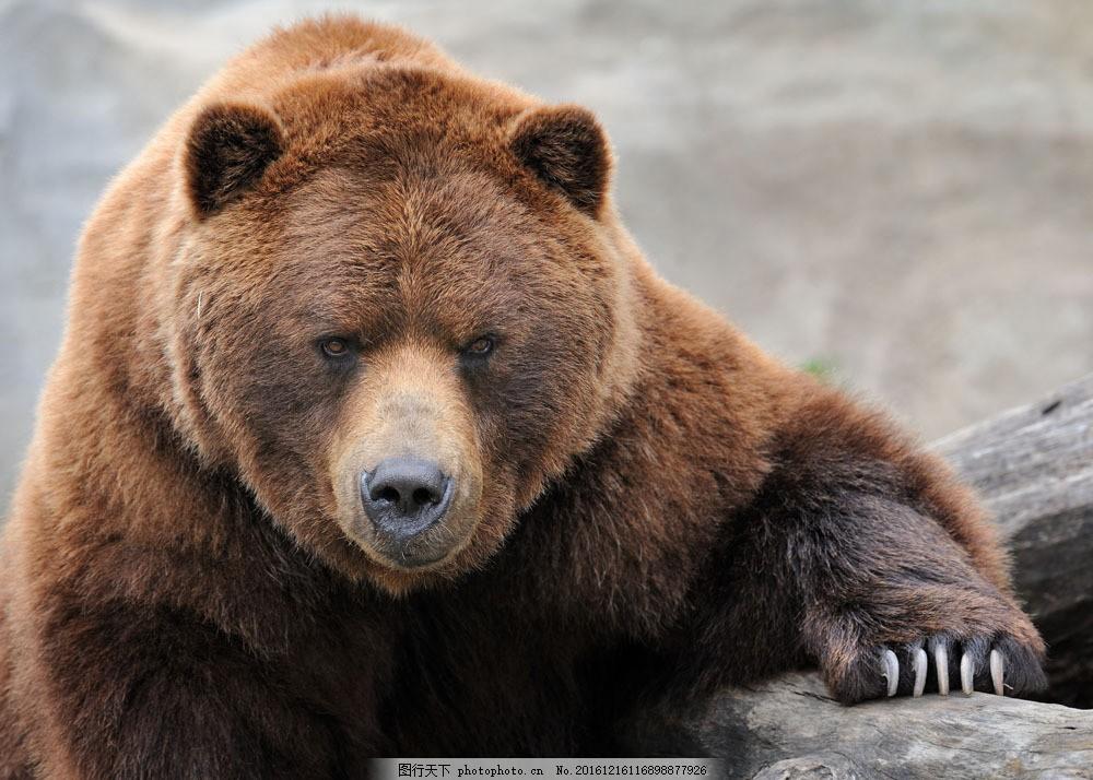 一只灰色狗熊 一只灰色狗熊图片素材 动物 野生动物 动物世界 陆地