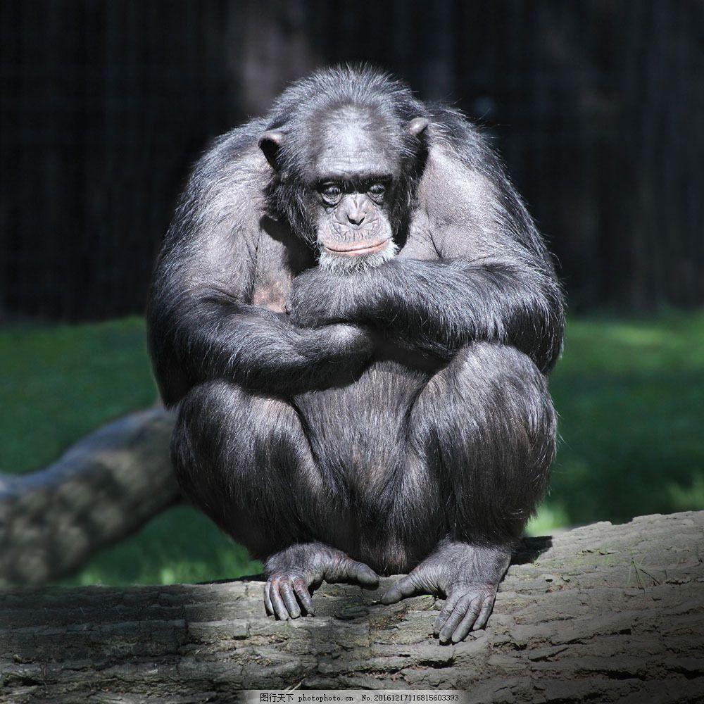 思考的猩猩 思考的猩猩图片素材 类人猿 动物 野生动物 动物世界