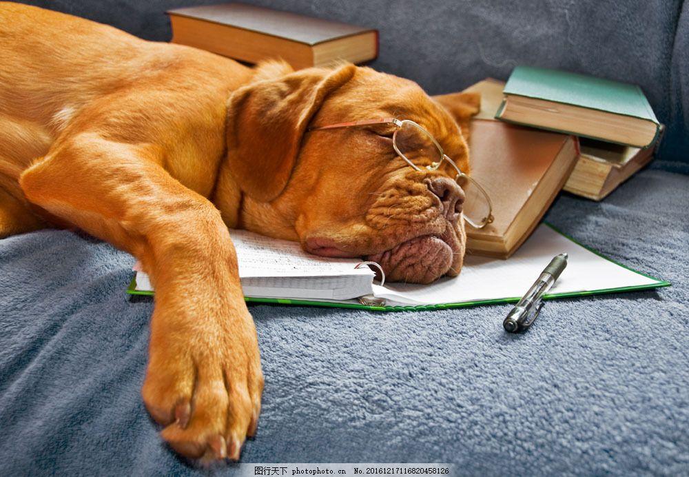戴眼镜睡觉的狗 戴眼镜睡觉的狗图片素材 动物世界 可爱 宠物 小狗