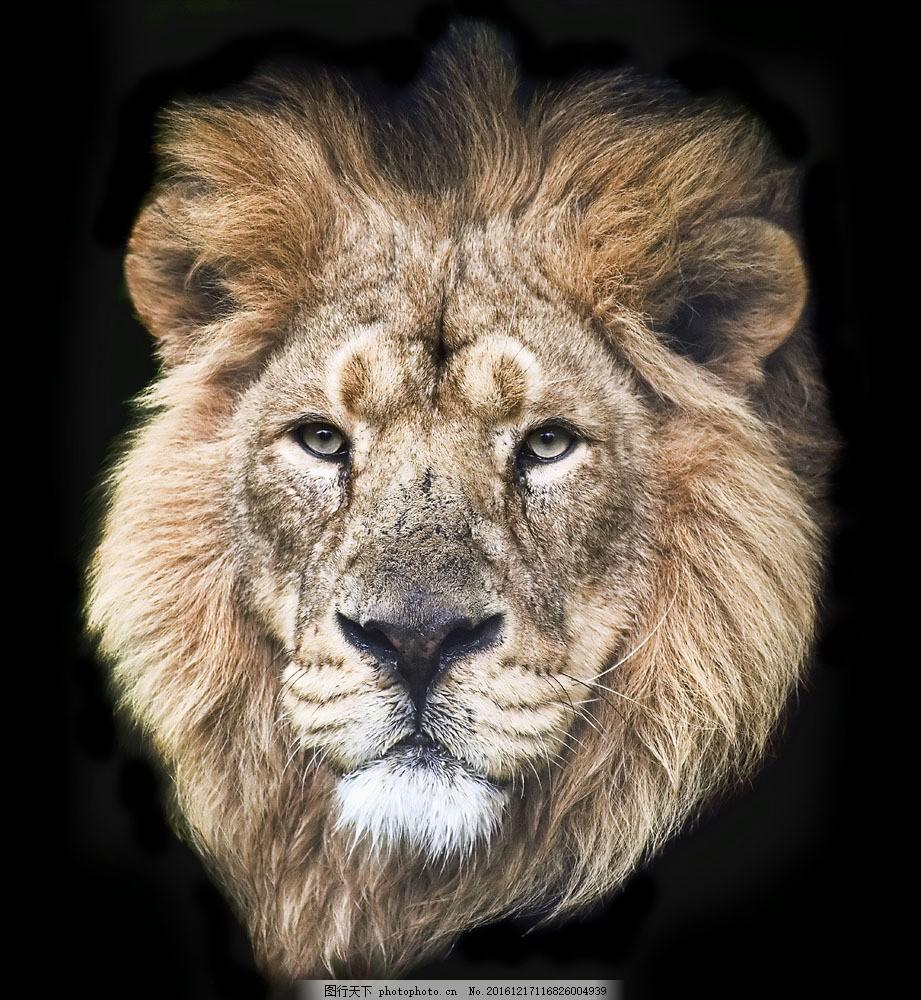 狮子头部摄影图片素材 雄狮 狮子 动物世界 野生动物 动物摄影 陆地