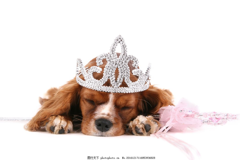 可爱小狗 可爱小狗图片素材 动物世界 宠物 睡觉 皇冠 狗狗图片