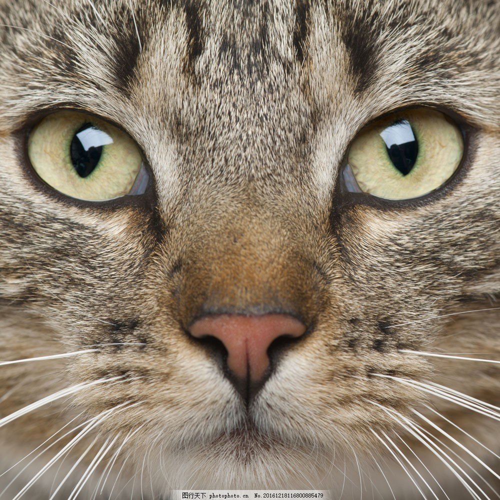 猫咪特写 猫咪特写图片素材 小猫 可爱 萌 宠物猫 动物世界 猫咪图片