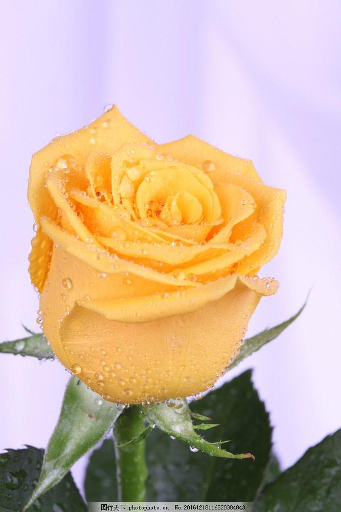 黄色玫瑰花 黄色玫瑰花图片素材 情人节 植物花朵 美丽鲜花 漂亮花朵图片