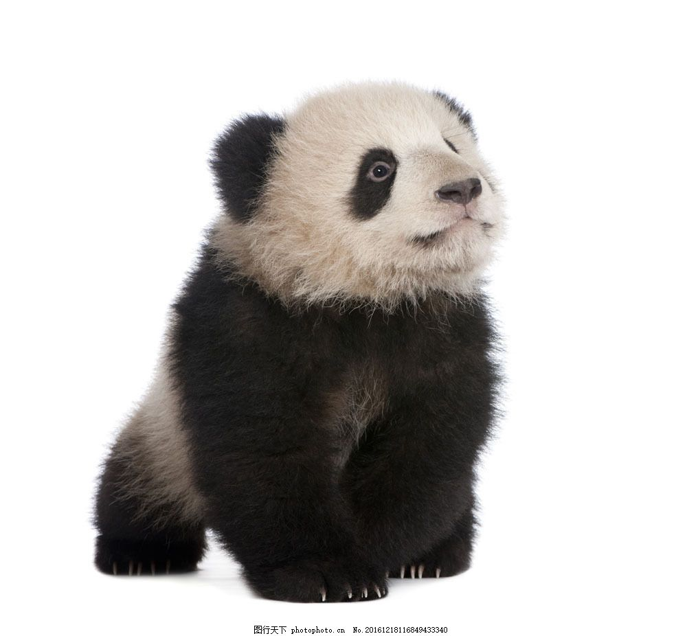 可爱熊猫宝宝图片素材 小熊猫 熊猫幼崽 国宝 国家保护动物
